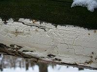 Antrodia xantha - антродия золотисто-желтая. Фото Татьяны Светловой (Москва), 27 января 2013 г.