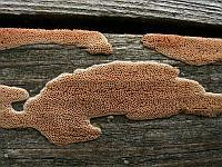 Ceriporia purpurea - церипория пурпуровая. Фото Владимира Капитонова (Ижевск), 16 августа 2009 г.