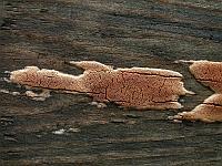 Ceriporia purpurea - церипория пурпуровая. Фото Владимира Капитонова (Ижевск), 1 сентября 2009 г.