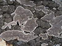 Cinereomyces lindbladii (syn. Diplomitoporus lindbladii) - цинереомицес Линдблада. Фото Владимира Капитонова (Ижевск), 16 ноября 2009 г.