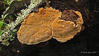 Hapalopilus aurantiacus - Гапалопилус оранжевый. Фото Игоря Крома (Красноярский край), 21 июня 2015 г.