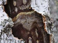 Inonotus obliquus - инонотус скошенный. Фото Владимира Брюхова (Кирово-Чепецк), 6 сентября 2010 г.