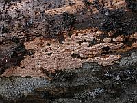 Junghuhnia collabens - юнгхуния сминающаяся. Фото Салавата Арсланова (Санкт-Петербург), 20 октября 2013 г.