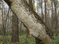 Oxyporus populinus - оксипорус тополевый. Фото Татьяны Светловой (Москва), 21 октября 2009 г.