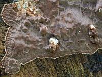 Phellinus ferrugineofuscus (Phellinidium ferrugineofuscum) - Феллинидиум ржаво-бурый. Фото Лукашиной Елены (Москва), 15 августа 2011 г.