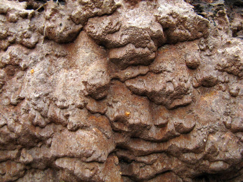 Phellinidium ferrugineofuscum. Автор фото:Станислав Кривошеев