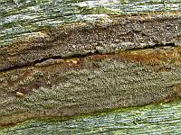 Phellinus ferrugineofuscus (Phellinidium ferrugineofuscum) - Феллинидиум ржаво-бурый. Фото Салавата Арсланова (Санкт-Петербург), 30 июня 2015 г.