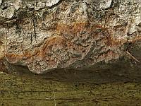Phellinus ferrugineofuscus (Phellinidium ferrugineofuscum) - Феллинидиум ржаво-бурый. Фото Салавата Арсланова (Санкт-Петербург), 2 июля 2015 г.