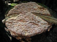 Phellinus ferrugineofuscus (Phellinidium ferrugineofuscum) - Феллинидиум ржаво-бурый. Фото Алексея Мясникова (Москва), 12 апреля 2010 г.