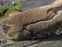 Fuscoporia ferruginosa - Фускопория ржавая. Фото Татьяны Светловой (Москва), 10 апреля 2009 г.