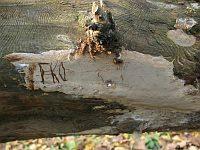 Phellinus laevigatus - феллинус сглаженный. Фото Татьяны Светловой (Москва), 20 октября 2011 г.