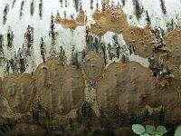 Phellinus laevigatus - феллинус сглаженный. Фото Татьяны Светловой (Москва), 15 сенятбря 2012 г.