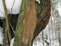Fomitiporia punctata - Фомитипория точечная. Фото Татьяны Светловой (Москва), 28 февраля 2012 г.