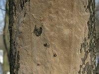 Fomitiporia punctata - Фомитипория точечная. Фото Татьяны Светловой (Москва), 28 марта 2009 г.