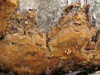 Rigidoporus crocatus (syn. Perenniporia nigrescens) - ригидопорус шафранно-желтый. Фото Татьяны Светловой (Москва), 4 апреля 2010 г.