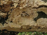 Schizopora flavipora - Схизопора желтопоровая. Фото Татьяны Светловой (Москва), 24 сентября 2009 г.