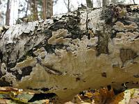 Schizopora paradoxa - Схизопора странная. Фото Татьяны Светловой (Москва), 23 октября 2010 г.