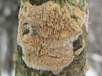 Schizopora paradoxa - Схизопора странная. Фото Татьяны Светловой (Москва), 13 декабря 2009 г.