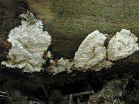 Skeletocutis brevispora - скелетокутис короткоспоровый. Фото Татьяны Светловой (Москва), 23 июля 2011 г.