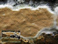 Gloeoporus taxicola (syn. Meruliopsis taxicola) - Глеопорус тиссовый. Фото Татьяны Светловой (Москва), 13 сентября 2009 г.