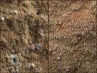 Gloeoporus taxicola (syn. Meruliopsis taxicola) - Глеопорус тиссовый. Фото Татьяны Светловой (Москва)