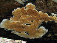 Gloeoporus taxicola (syn. Meruliopsis taxicola) - Глеопорус тиссовый. Фото Татьяны Светловой (Москва), 4 сентября 2011 г.