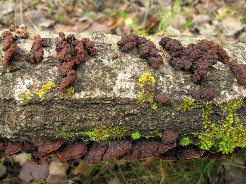Пунктулярия щетинисто-опоясанная (Punctularia strigosozonata). Автор фото:Станислав Кривошеев