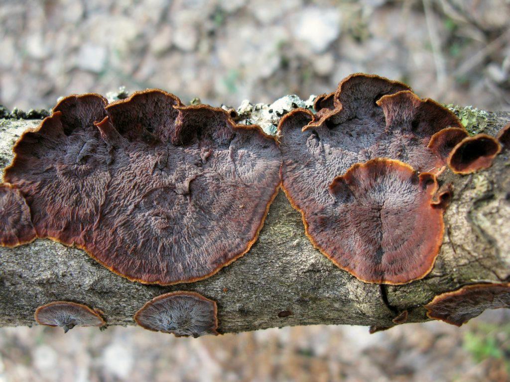 Пунктулярия щетинисто-опоясанная (Punctularia strigosozonata). Автор фото: Станислав Кривошеев