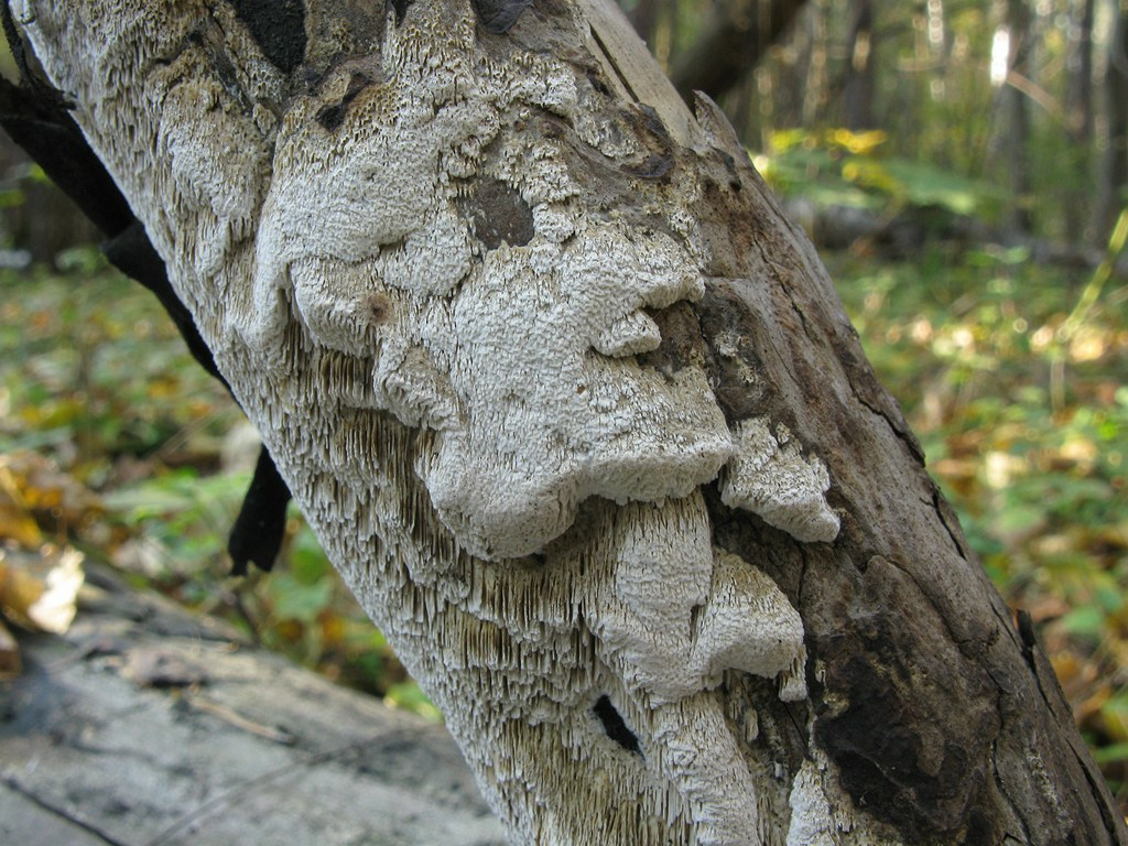 Антродия извилистая (Antrodia sinuosa). Автор фото: Татьяна Светлова