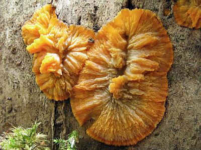 Phlebia radiata Автор фото: Татьяна Светлова