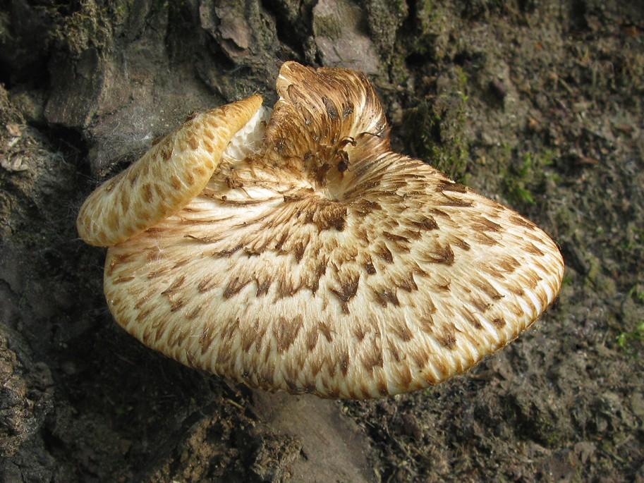 Polyporus squamosus. Автор фото: Татьяна Светлова