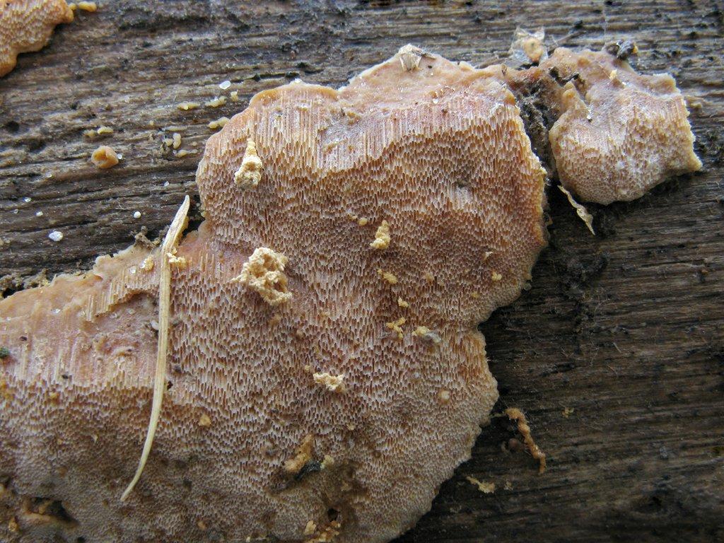 Ригидопорус шафранно-жёлтый (Rigidoporus crocatus). Автор фото: Татьяна Светлова