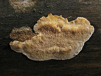 Антродия маленькая (Antrodia minuta) Автор фото: Татьяна Светлова