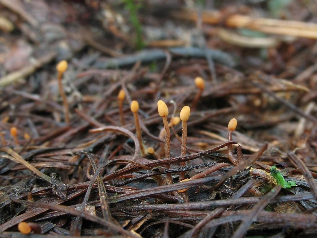 Хейдерия пихтовая(Heyderia abietis). Автор фото: Татьяна Светлова