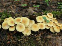 Ложноопенок серно-желтый - Hypholoma fasciculare