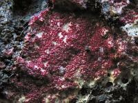 s:паразиты грибов,f:коркообразные,c:красно-коричневые