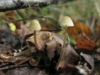 s:пластинчатые,l:кремовые,l:желто-охряные,n:темнее шляпки,n:цилиндрические,n:коричневые