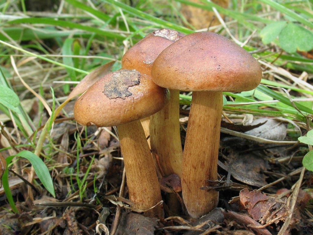 Tricholoma fulvum Автор фото: Татьяна Светлова