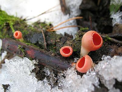 Sarcoscypha austriaca Автор фото: Станислав Кривошеев