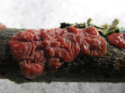 Цитидия ивовая (Cytidia salicina) Автор фото: Станислав Кривошеев