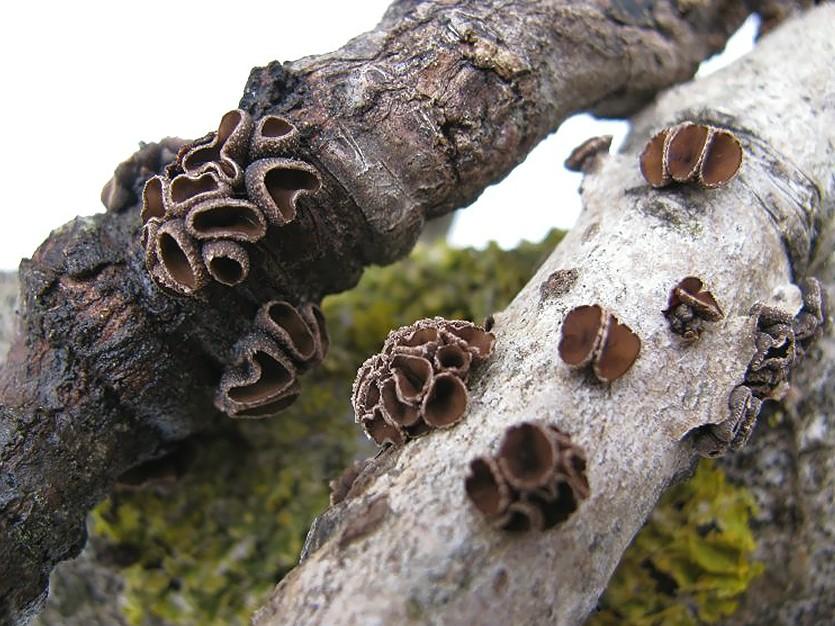 Энцелия пучковая (Encoelia fascicularis). Автор фото:Станислав Кривошеев